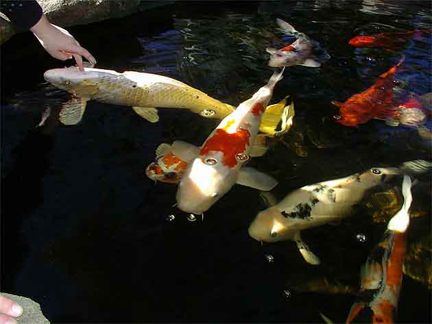 Koi or goldfish